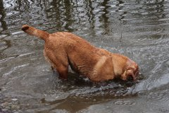 labrador-retriever-huendin-ruby-08.jpg