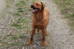 labrador-retriever-huendin-ruby-11.jpg