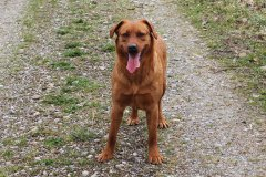 labrador-retriever-huendin-ruby-12.jpg