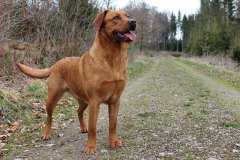 labrador-retriever-huendin-ruby-14.jpg