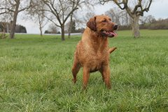 labrador-retriever-huendin-ruby-19.jpg