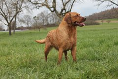 labrador-retriever-huendin-ruby-20.jpg