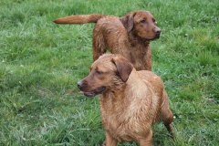 labrador-retriever-huendin-ruby-21.jpg