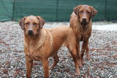 labrador-retriever-huendin-ruby-23.jpg