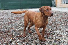 labrador-retriever-huendin-ruby-25.jpg