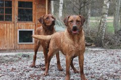 labrador-retriever-huendin-ruby-27.jpg