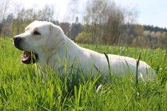 labrador-retriever-huendin-sara-08.jpg