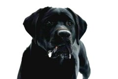 labrador-black-joe-egelsee-03.jpg
