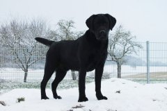 labrador-black-joe-egelsee-04.jpg