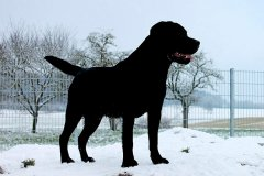 labrador-black-joe-egelsee-05.jpg