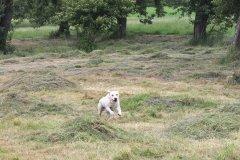 labrador-retriever-ruede-da-vinci-13.jpg