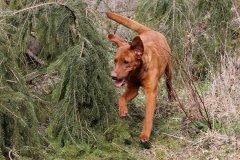labrador-retriever-ruede-ranger-11.jpg