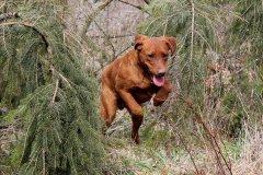 labrador-retriever-ruede-ranger-12.jpg